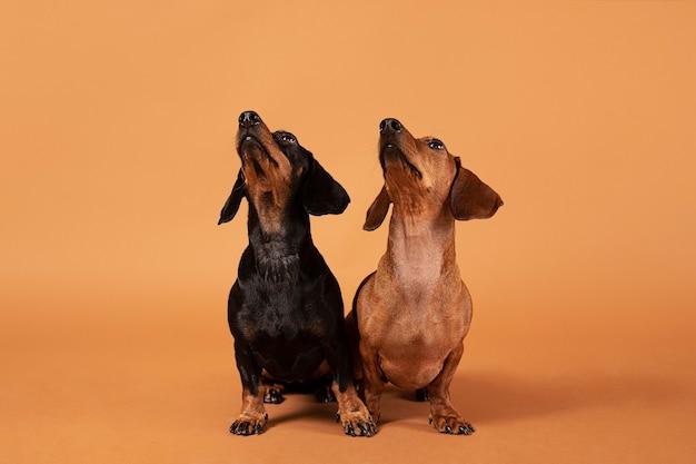 Cachorros de raça pura fofos em um estúdio