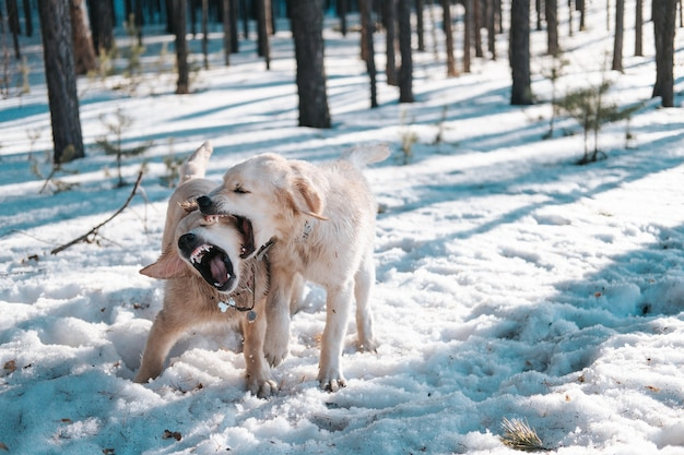 Cachorros golden retriever brincando