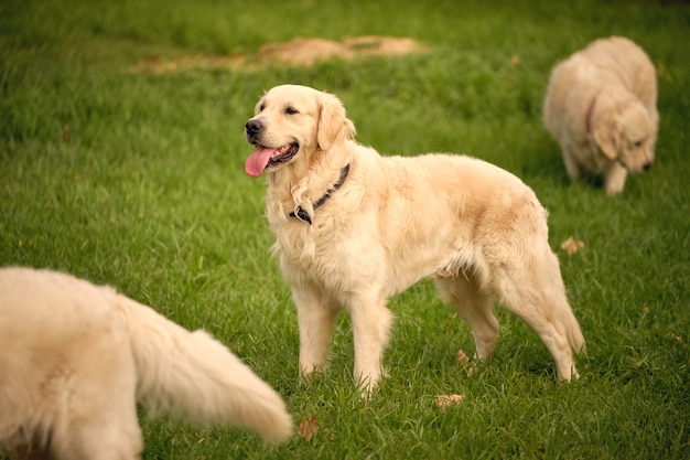 Cachorros golden retriever em um prado no parque