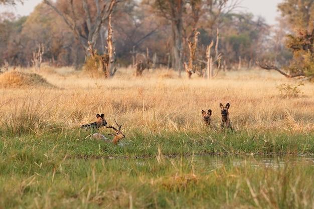 Cachorros selvagens caçando impalas desesperados
