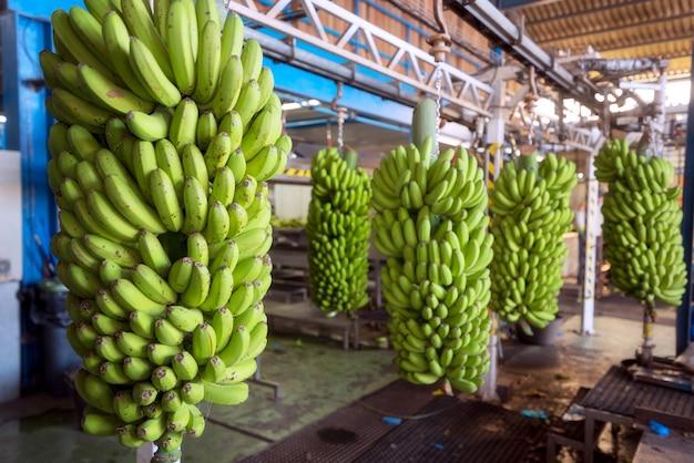 Cachos de banana em uma indústria de embalagens.