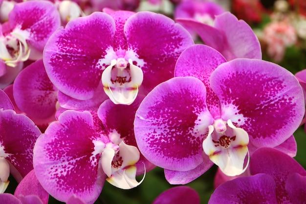 Cachos de flores de orquídea desabrocham magenta vivas