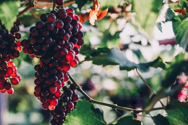 Cachos de uva ripen pendurados em videiras na fazenda