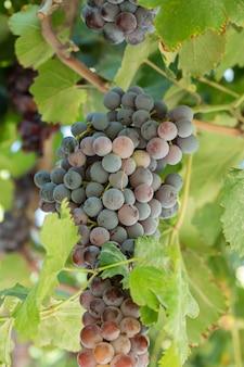 Cachos de uva vermelha no topo de folhas verdes
