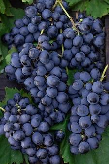 Cachos de uvas azuis em um fundo de folhas verdes close-up