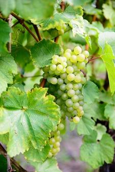 Cachos de uvas brancas nas videiras