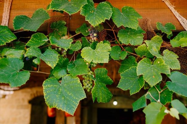 Cachos de uvas em folhas verdes sob o telhado da casa