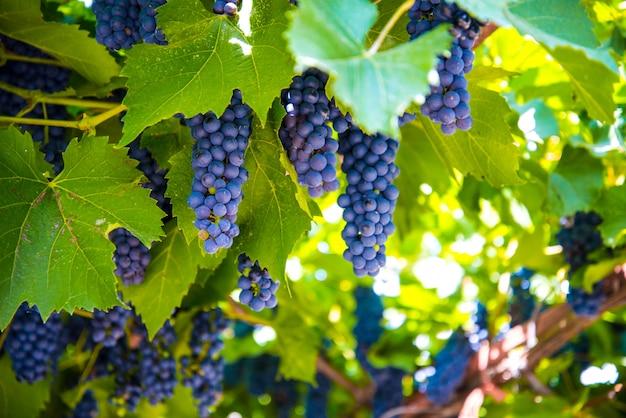 Cachos de uvas frescas no jardim