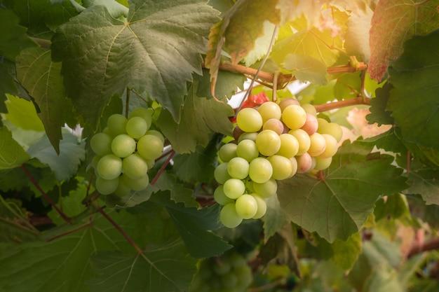 Cachos de uvas frescas