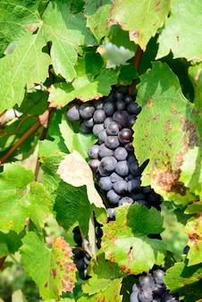 Cachos de uvas pretas nas videiras