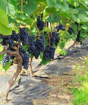 Cachos de uvas roxas na videira no vinhedo. uvas suculentas maduras frescas