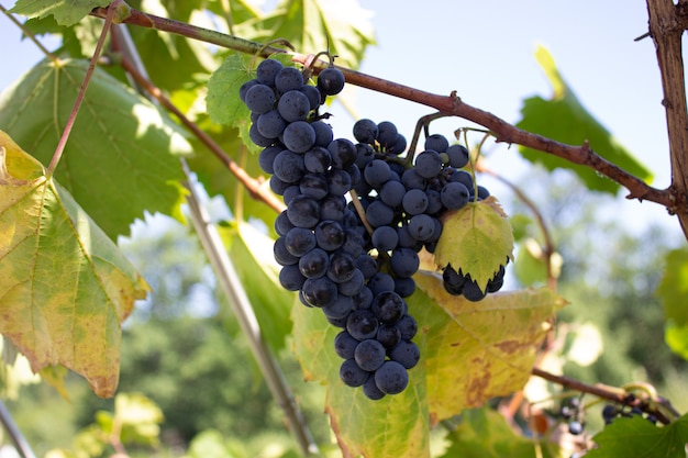 Cachos de uvas vermelhas em uma videira. a colheita das uvas. vinicultura.