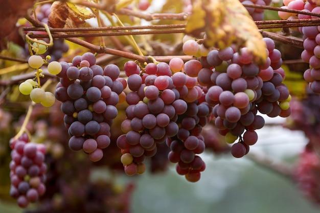 Cachos de uvas vermelhas