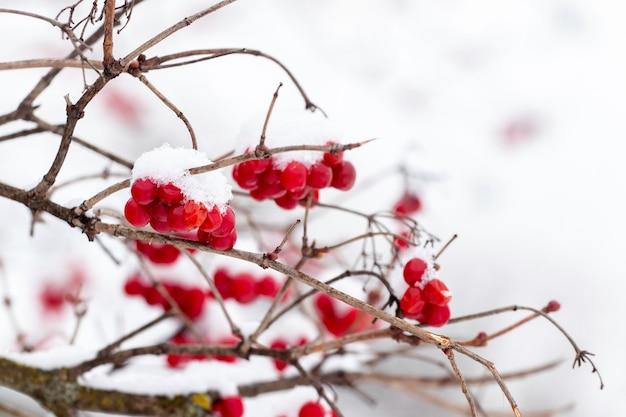 Cachos de viburnum cobertos de neve com frutas vermelhas. bagas vermelhas de viburnum no inverno em um fundo branco