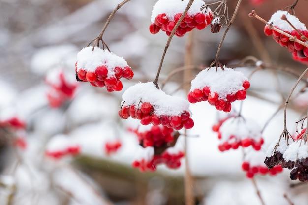 Cachos de viburnum cobertos de neve com frutas vermelhas. bagas vermelhas de viburnum no inverno