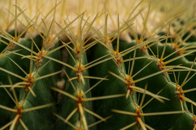 Cacto de echinocactus grusonii.