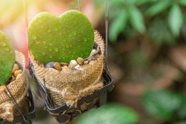 Cacto de forma bonito coração forma verde em pote com pingo de chuva