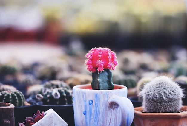 Cacto de gymnocalycium, cacto colorido de flores vermelhas em vaso plantado na horta