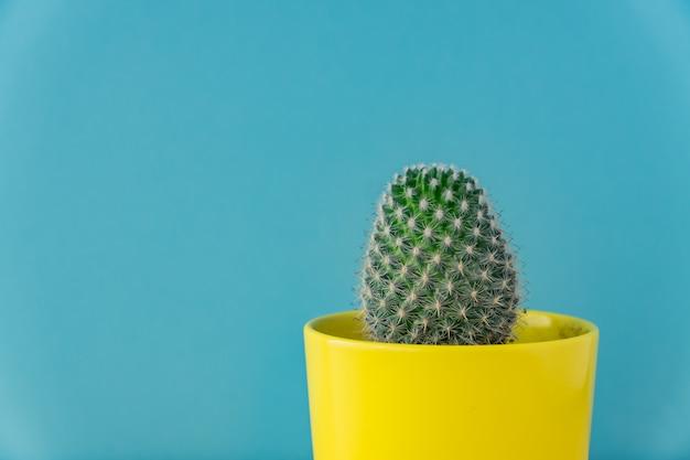 Cacto de mammillaria em vaso de cerâmica amarelo azul