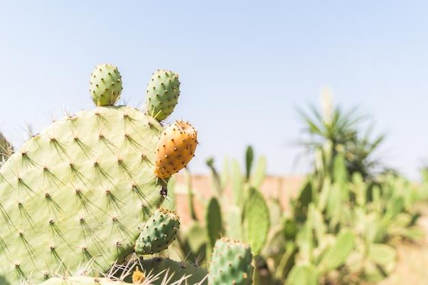 Cacto de pera espinhosa com fruta na sobremesa de marrocos.