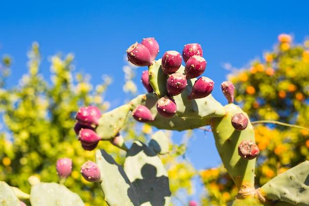 Cacto de pera espinhosa com frutas em um céu azul