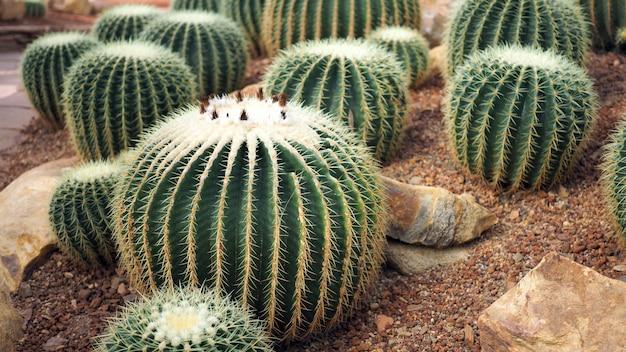 Cacto de tambor dourado ou grusonii de echinocactus no jardim botânico.