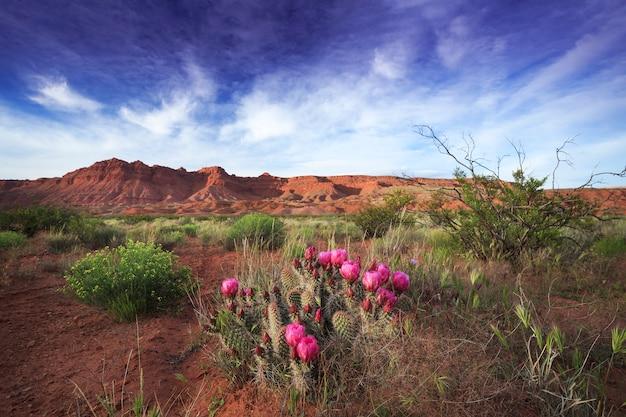 Cacto do deserto floresce no deserto