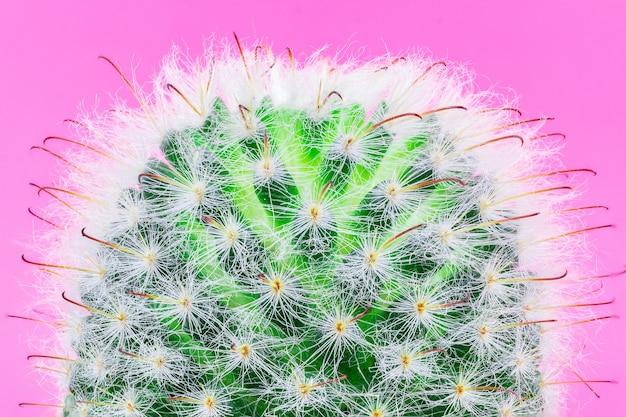 Cacto em um fundo rosa