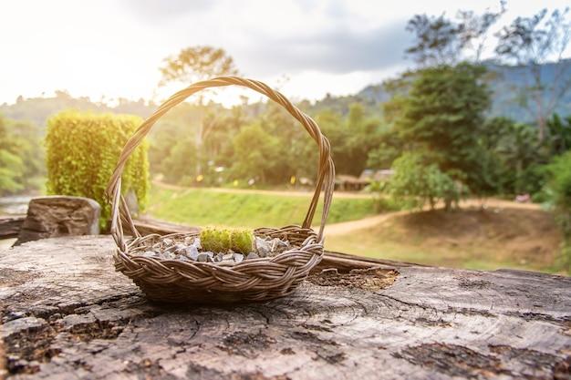 Cacto em uma cesta colocada em um pedaço de madeira para decoração