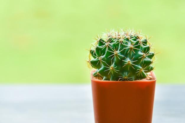 Cacto em vaso pequeno no fundo verde / cacto em uma panela