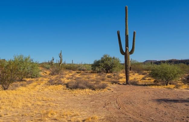 Cacto gigante no deserto do arizona, eua