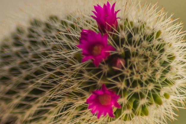 Cacto home com as flores de florescência cor-de-rosa, close up, horizontal.