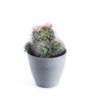 Cacto mammillaria florido em um vaso isolado no fundo branco