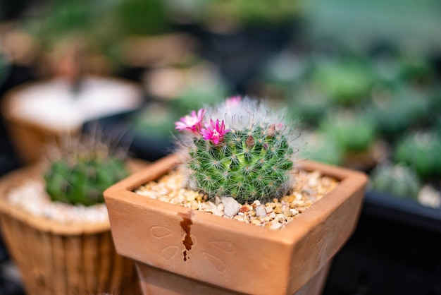 Cacto, planta pequena