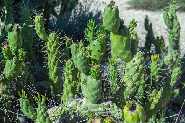 Cacto selvagem cactaceae opuntia cylindrica também chamado de cacto cylindricus close up foto