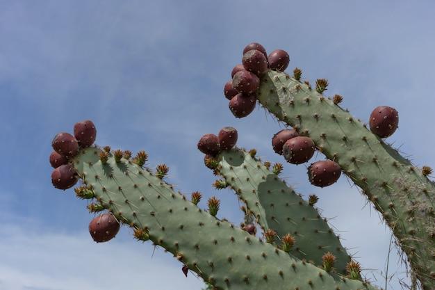 Cacto selvagem com frutas deliciosas contra um céu azul.