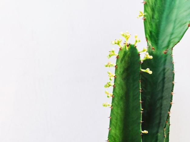 Cacto verde com crescimento de pequenas flores de cacto isoladas no fundo branco com espaço de cópia.
