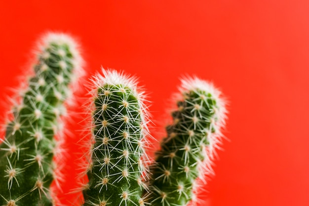 Cacto verde de close-up em fundo vermelho brilhante na moda. foco seletivo.