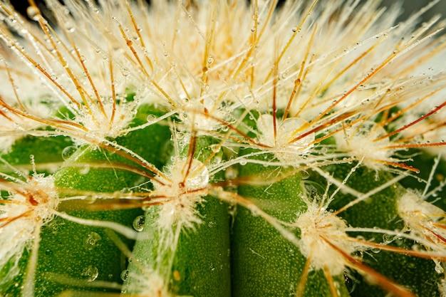 Cacto verde macro com espinhos afiados