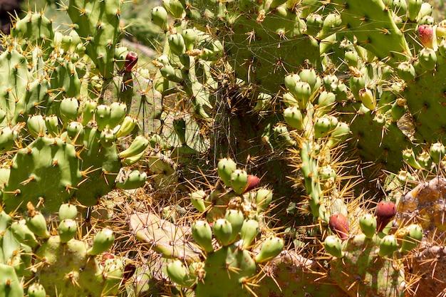 Cactos espinhosos com frutas