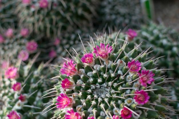 Cactos pontiagudos e fofos, cactáceas ou cactos florescendo com flores lilás rosa. textura de cactos espinhos de perto