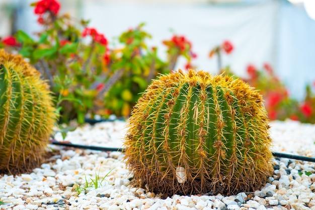 Cactos tropicais redondos verdes com espinhos pontiagudos