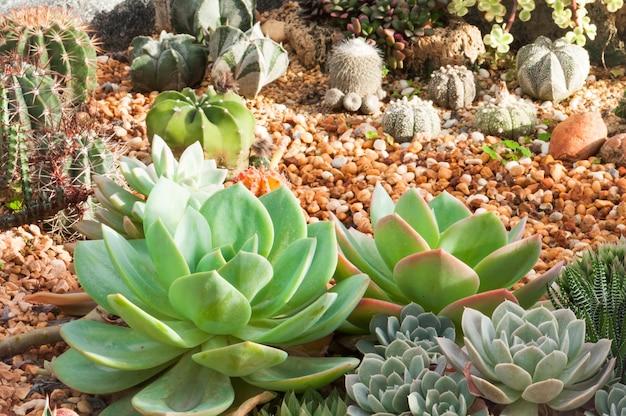 Cactus mini jardim em viveiro, plantação de cactos suculentos