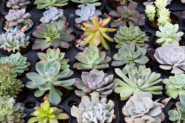 Cactus plantação suculenta no berçário, pequeno cacto em recipiente para venda