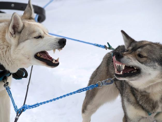 Cães brincando no campo coberto de neve