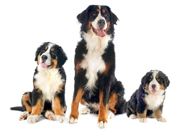 Cães da bernese moutain