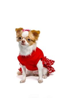 Cães da chihuahua que são fêmeas no vermelho que veste um par de vidros em um fundo branco.