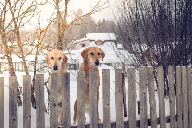 Cães de caça em pé na cerca na aldeia