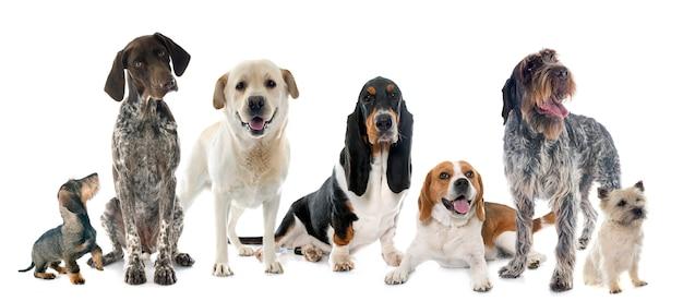 Cães de caça no estúdio