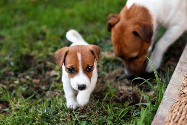 Cães de jack russell que jogam no prado da grama. cachorrinho e cão adulto fora no parque, verão.